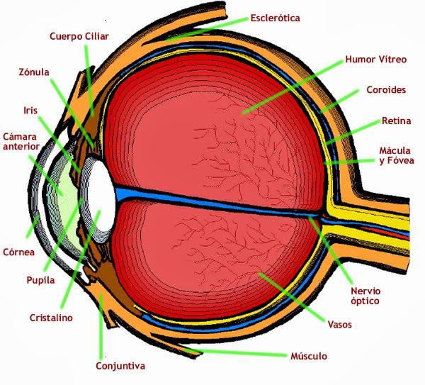Órgano de la visión - Anatomía humana general