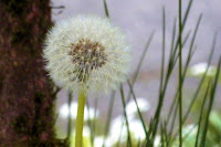 photo of a dandelion by Nancy Zavada