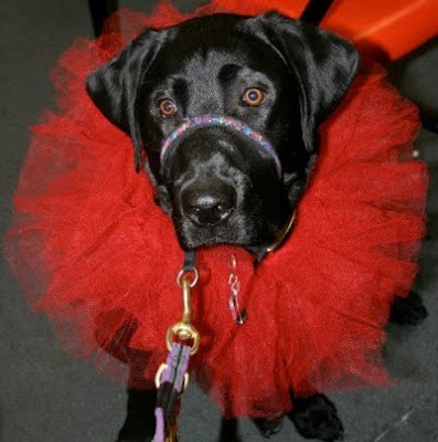 black Lab in red tutu