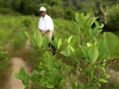 La coca en Bolivia