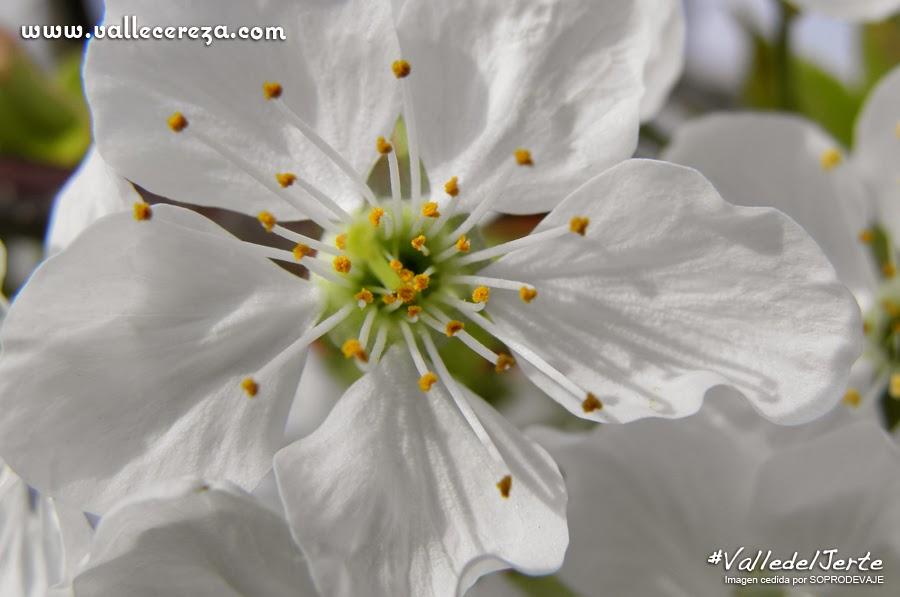 Flor de cerezo o sakura