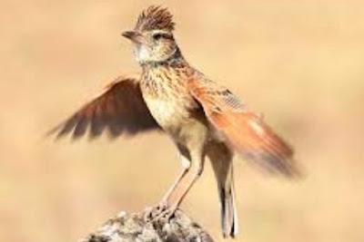 Daftar Harga Burung Branjangan Terbaru Tgl.1 Oktober 2015