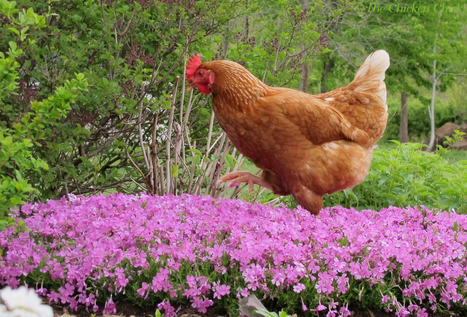 the chicken probiotics a natural choice for healthy chickens