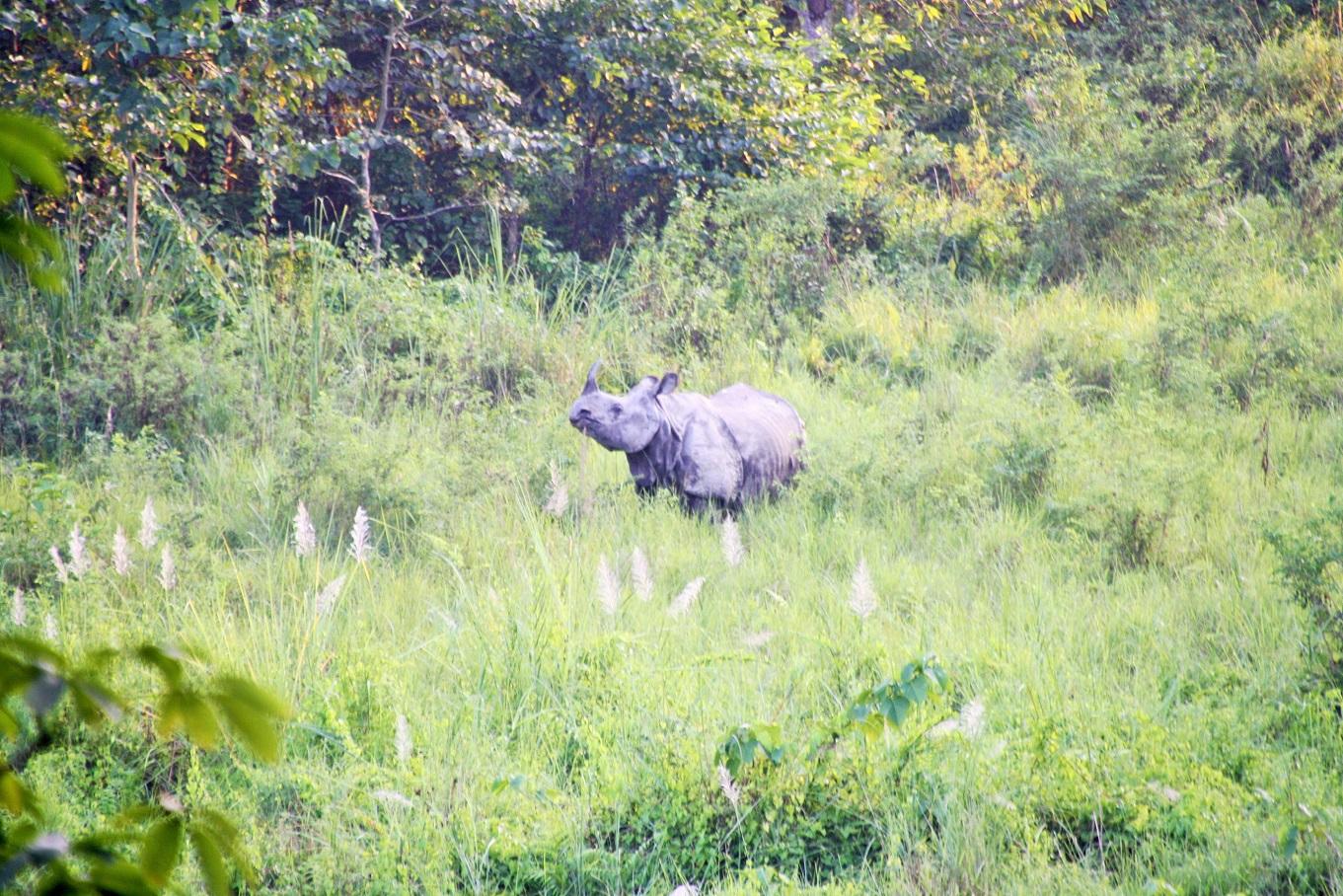 Neushoorn in Chitwan