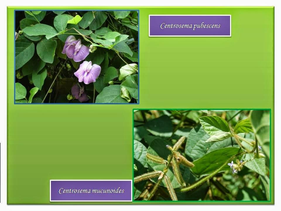 Centrosema pubescens (CP)