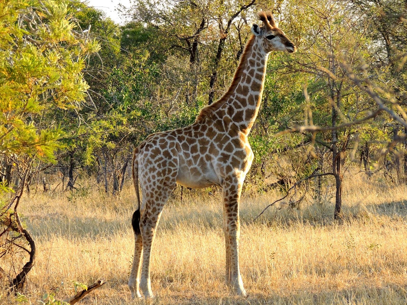 Tintswalo Ranger's Blog: Bush Fact #2 - Giraffe
