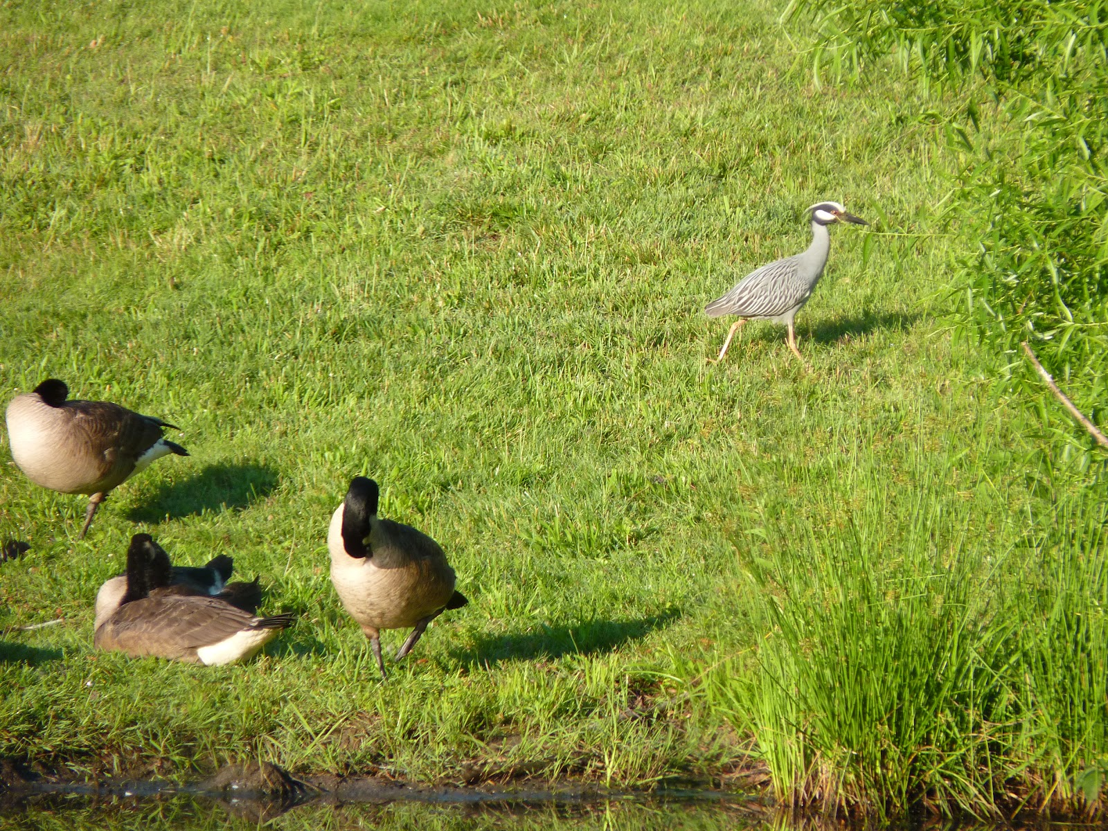 yellow-crowned night heron walking past geese