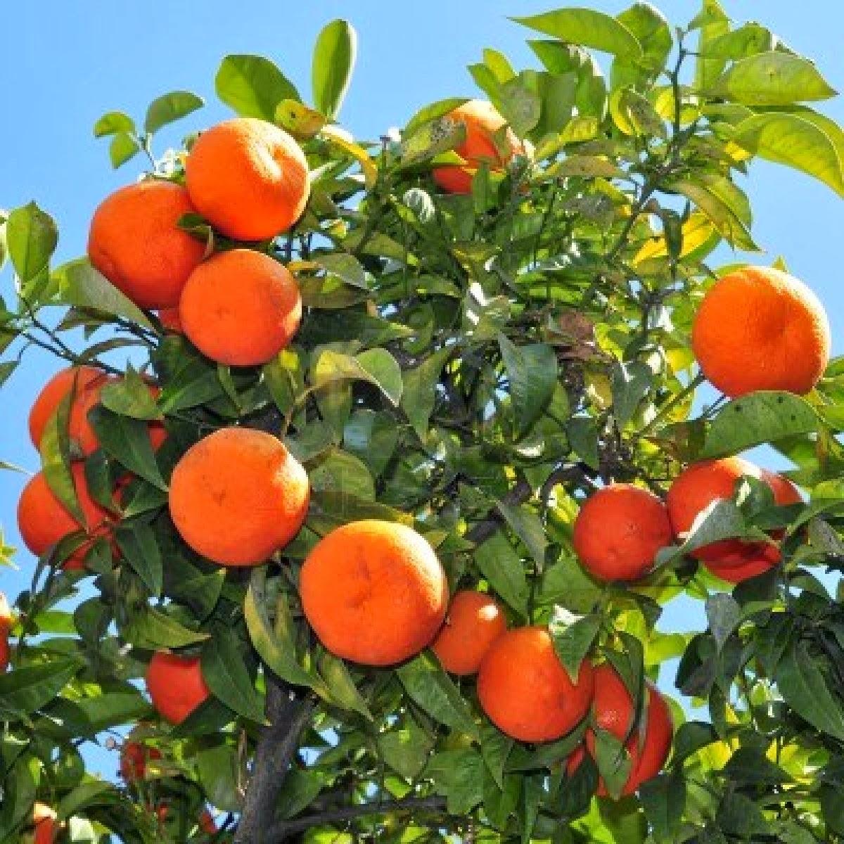 Four Tips for Orange Tree Plant Care - Blooming Desert