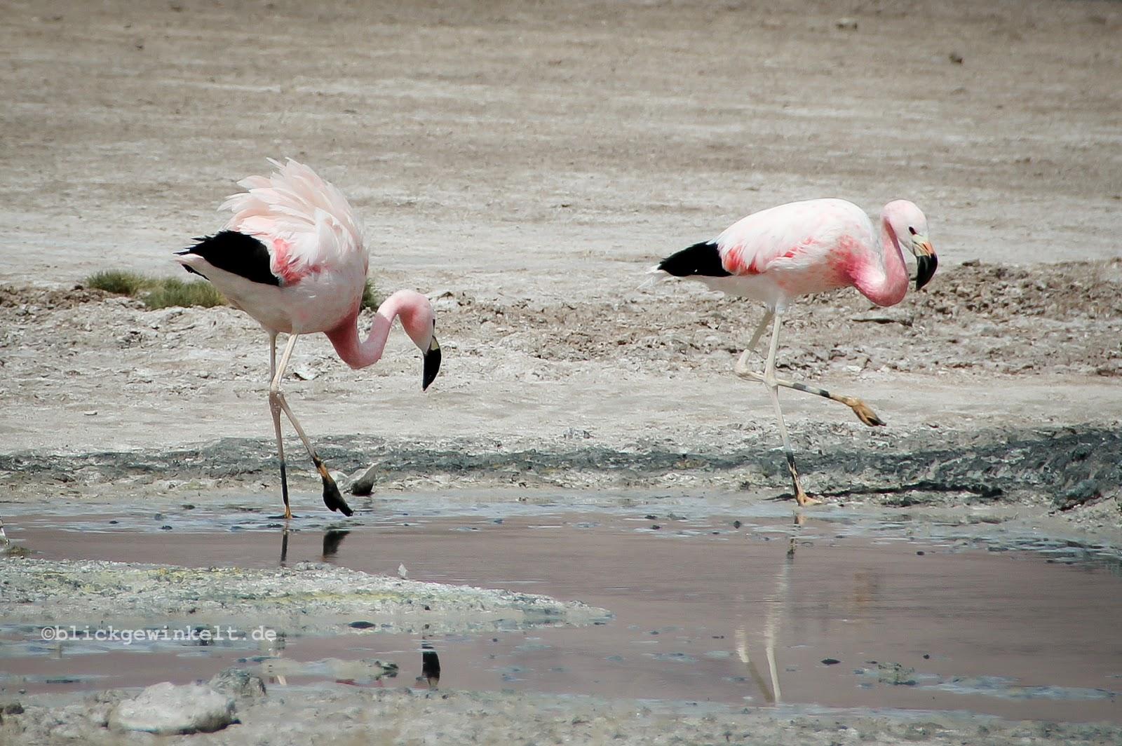 Flamingo, Bolivien, Altiplano, Laguna