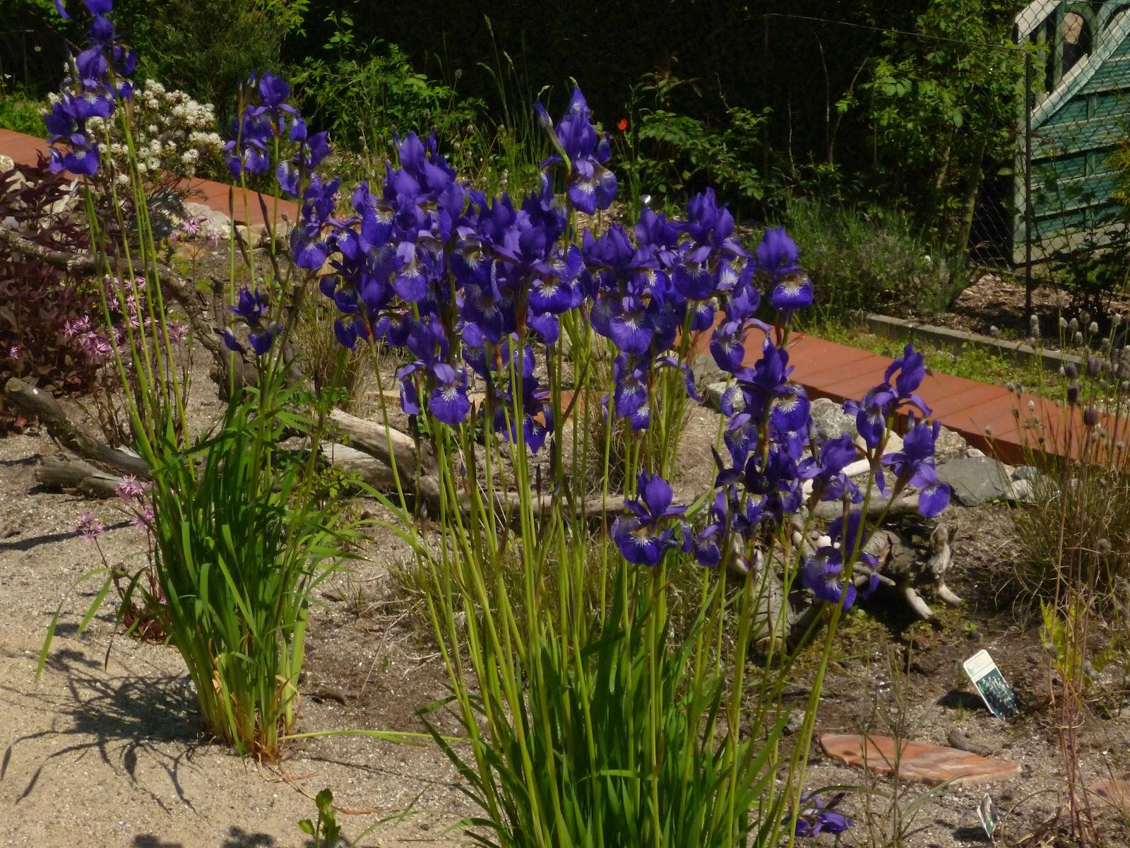 mein k nstliches moor und andere biotope im garten iris sibirica im sumpf. Black Bedroom Furniture Sets. Home Design Ideas
