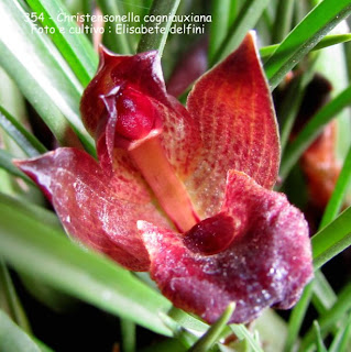 Maxillaria juergensii