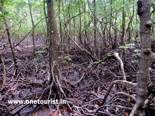 mangrove forest , baratang , middle andaman