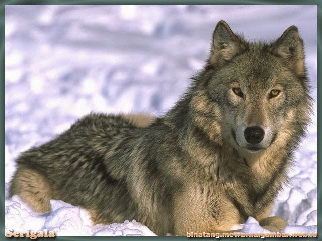 gambar serigala