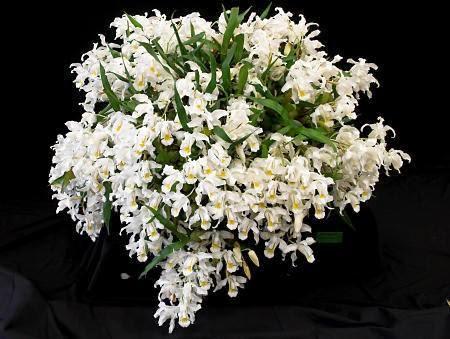 Orquidea Coelogyne Cristata Coelogyne Cristata R$30,00