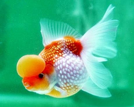 ikan+mas+koki+mutiara2 Mengenal Ikan Mas Hias dan Jenisnya  wallpaper