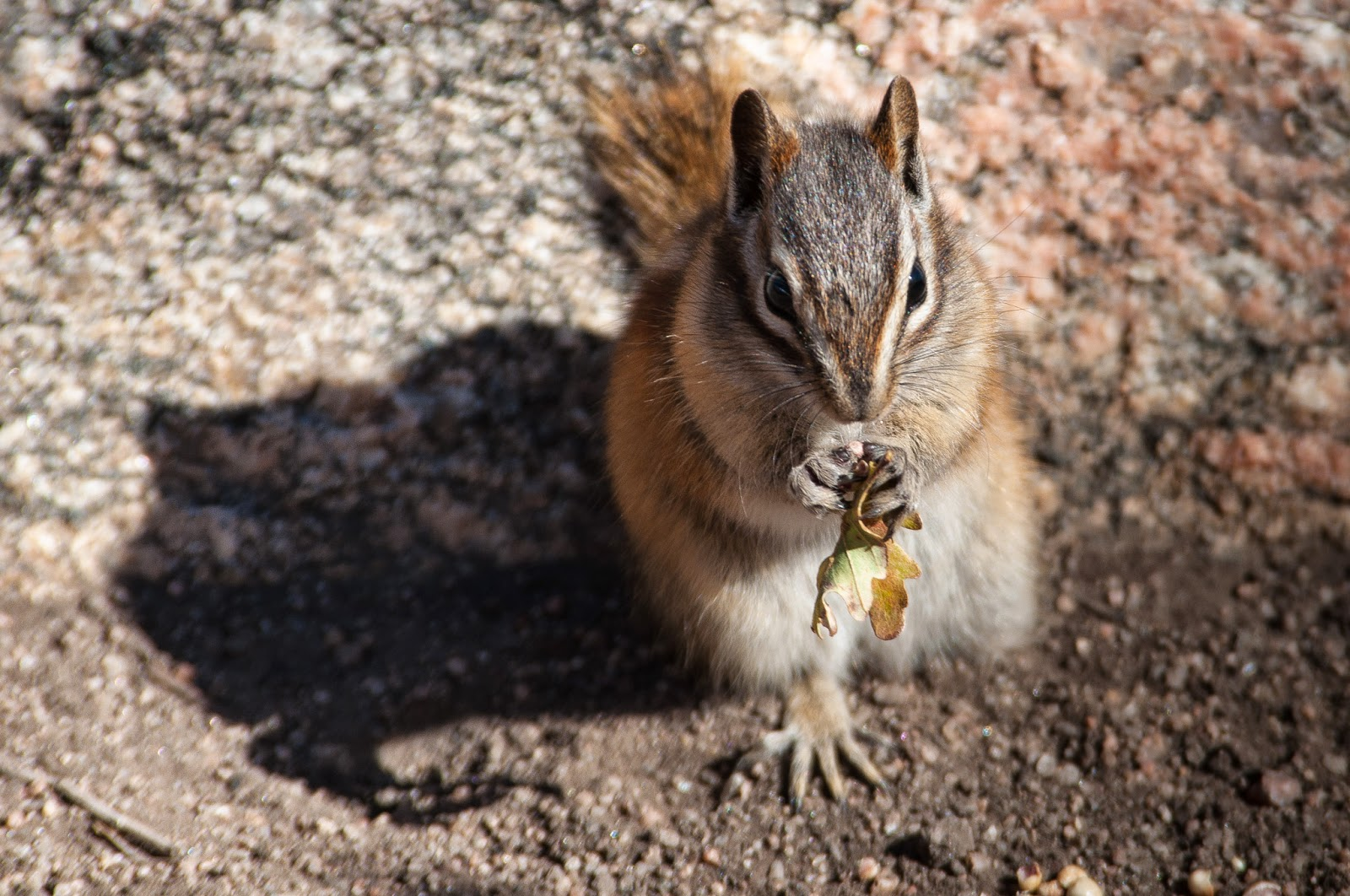 Chipmunk, Roxborough State Park