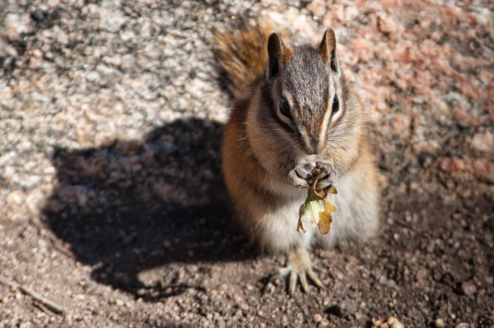 Chipmunk, Roxborough State Park