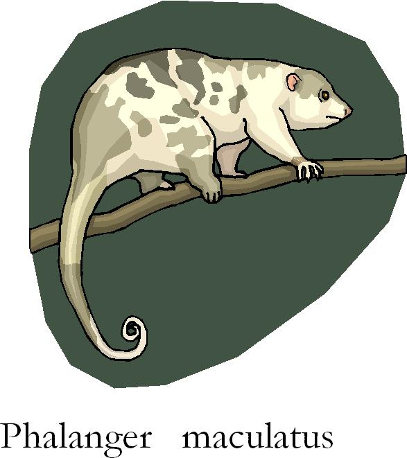 Cuscus Phalanger Maculatus Free Clipart
