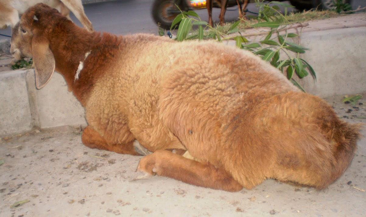 qurbani sheep - photo #28