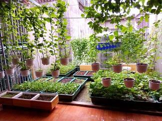 Khám phá vườn rau xanh mướt được trồng trên sân thượng