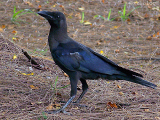 Fairytale Why Black Raven Colored