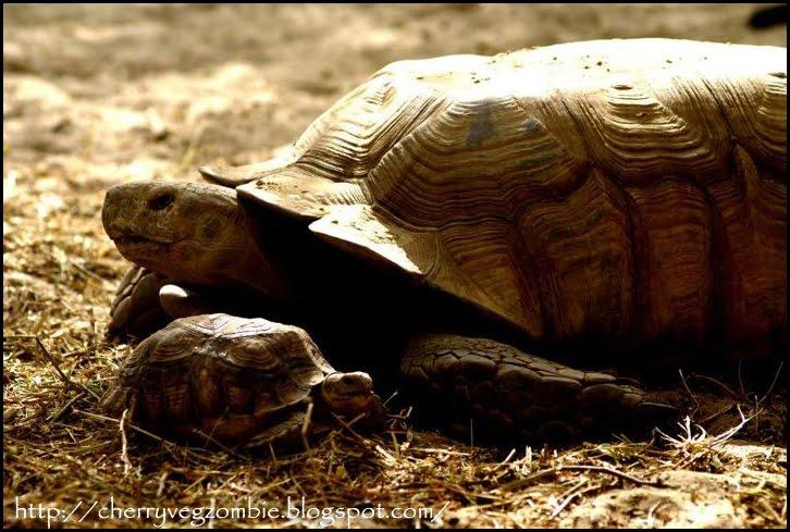 tortues de la langue de Barbarie