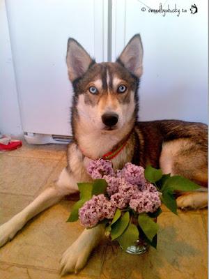 Siberian Husky Lilac Princess