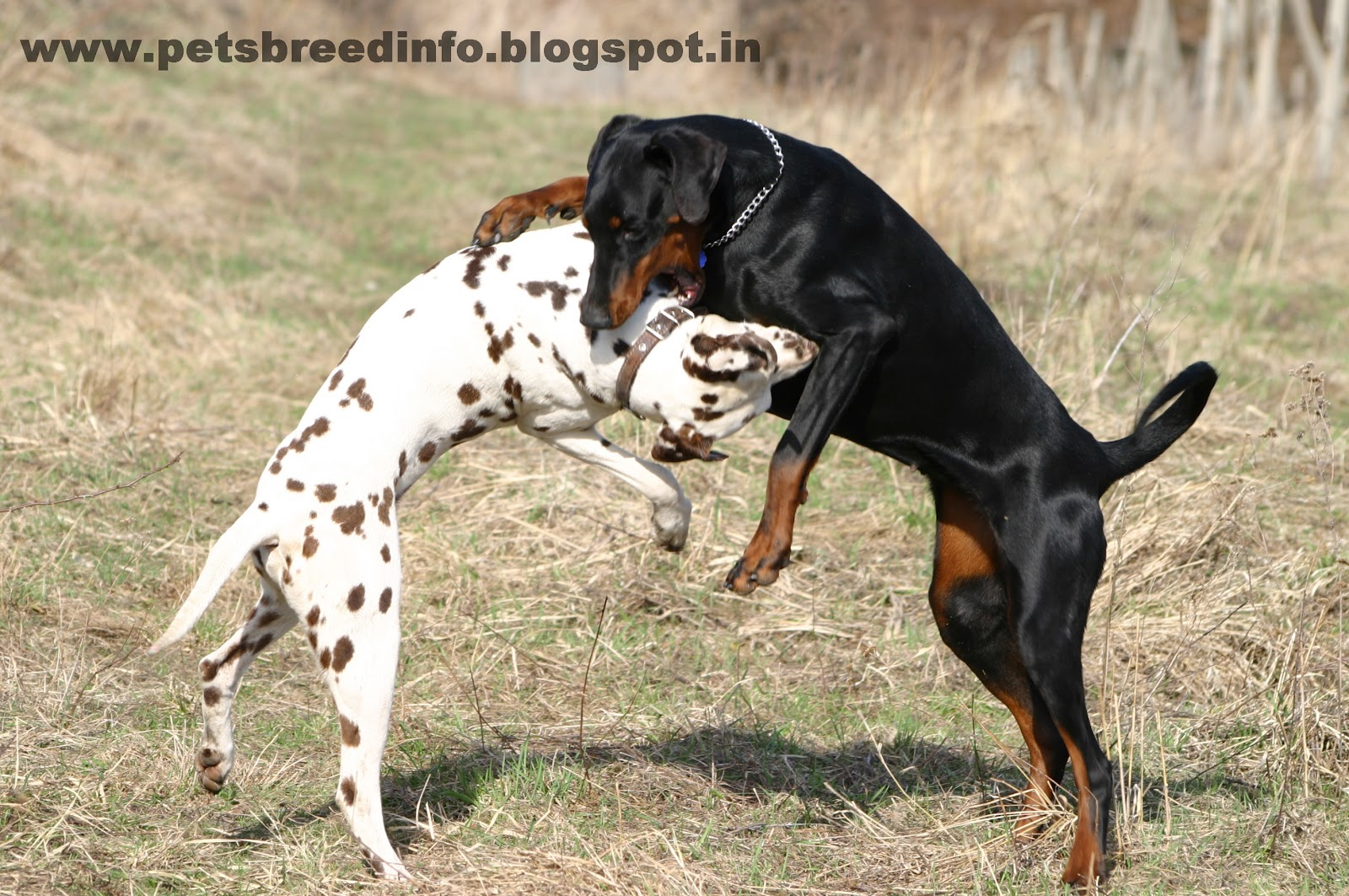 dalmatian dogs Dalmatian puppies for sale, dalmatian dogs for adoption and dalmatian dog breeders find the perfect dalmatian puppy at puppyfindcom.
