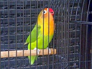 Burung Lovebird pada awalnya adalah burung hiasan yang oleh sebagian orang di jadikan simbol dalam kerukunan berpasangan. Sering dengan pasatnya trend dunia burung berkicau, burung Love Bird banyak di jadikan burung master dan burung lomba oleh para kicaumania di berbagai daerah.   Burung Love bird dikenal dengan bentuknya lucu dan kombinasi warna-warna bulu yang sangat menawan. Burung lovebird sangat cerewet, karena burung ini sensitif dengan suara tinggi yang ada di sekitarnya. Merawat burung Lovebird sangatlah mudah dan menyenangkan  Makanan Yang Dibutuhkan Dan Baik Untuk Burung Lovebird Sayuran segar. Burung lovebird sangat menggemari sayur dan buah segar seperti : Apel, Pir, Anggur, Kangkung, Sawi Putih, Jagung Muda dan Sayran Lainnya. Asinan. Utuk mencakupi kebutuhan kalsium, burung ini membutuhkan asupan kalsium tambahan dapat diberikan tulang sotong untuk melengkapiu kebutuhan kalsium yang dibutuhkan Biji Mix. Kita dapat memberikan biji-bijian yang telah dicampur yang banyak di jual di pasaran sebagai pakan utamanya Extra Fooding. Biji bunga matahari, biji Fumayin, biji Kedelai, biji Kacang merah dan biji kacang hijau yang sangat di gemari oleh burung ini untuk melengkapi kebutuhan vitamin, protein dan menaikkan suhu tubuh serta meningkatkan sistem metabolisme didalamtubuhnya Keunggulan Burung Lovebird  Mudah beradaptasi Tukang Teriak dan Petarung Birahi yang cenderung mudah naik Mudah Jinak Tidak Mudah Stress Menyenangi Lingkungan yang Sejuk Burung Koloni dan Berkelompok.  Kelemahan Burung Lovebird  Susah Untuk berjodoh Telur kadang tidak menetas Cacat kaki