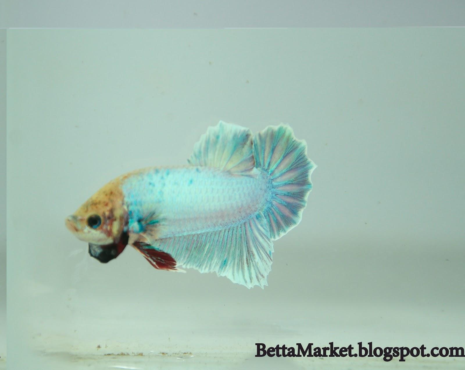 Bettamarket beautiful betta fish for Prettiest betta fish