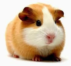 Animal do Mês - Porquinho da Índia