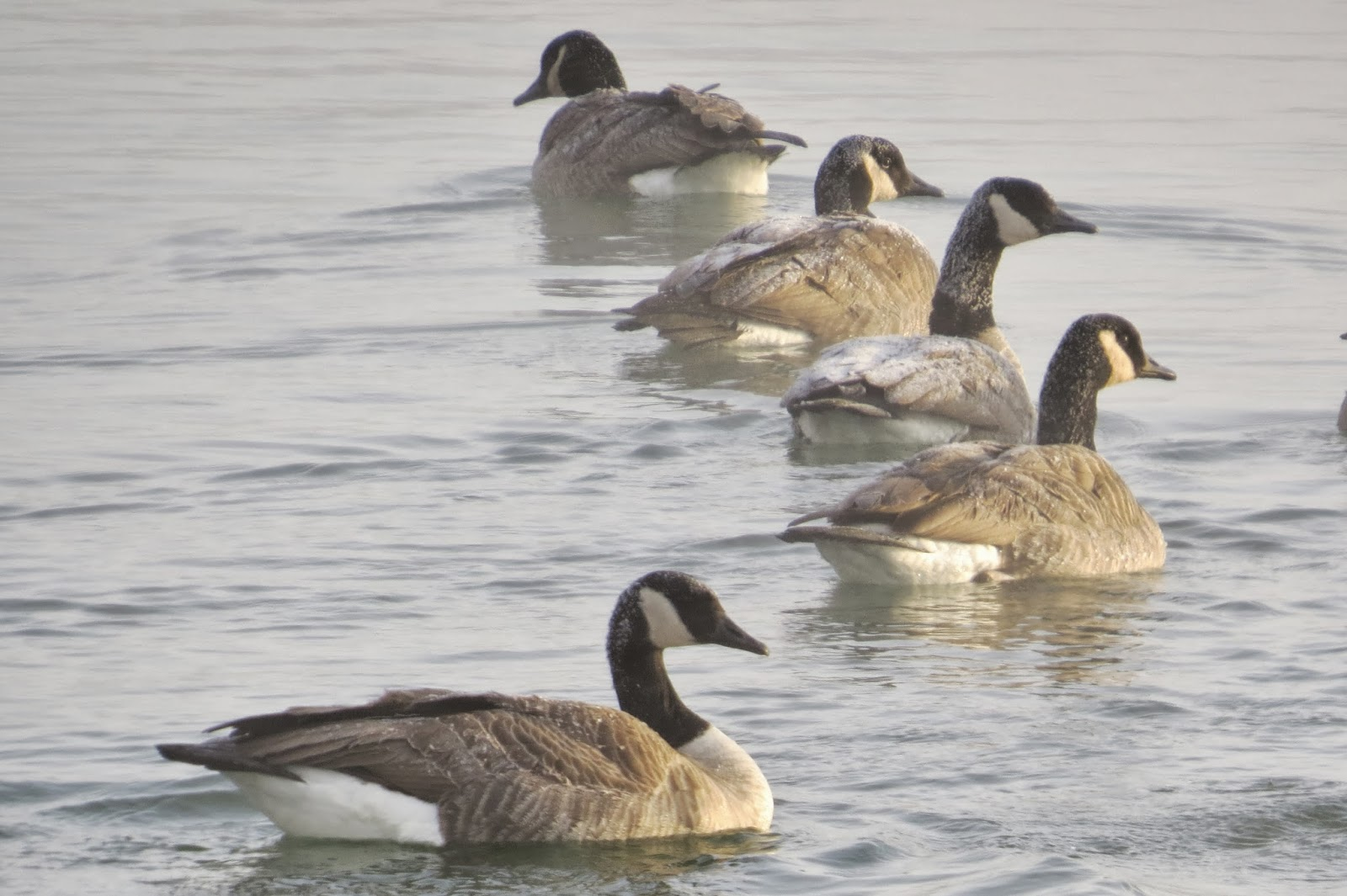 Canada geese swimming in the missouri river at 12 degrees fahrenheit