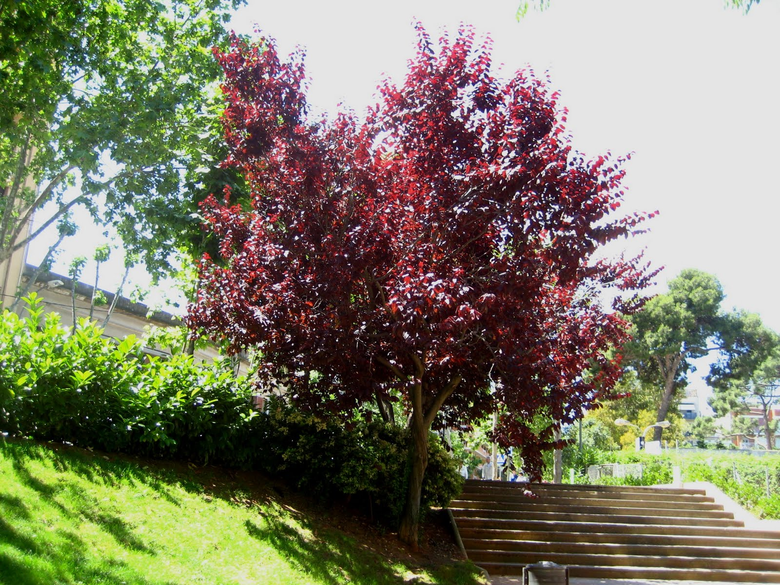 Rboles con alma ciruelo rojo pissardi prunus cerasifera for Arbol ciruelo de jardin
