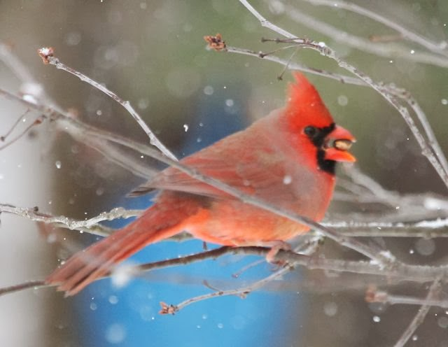 Male Cardinal eats a tree bud