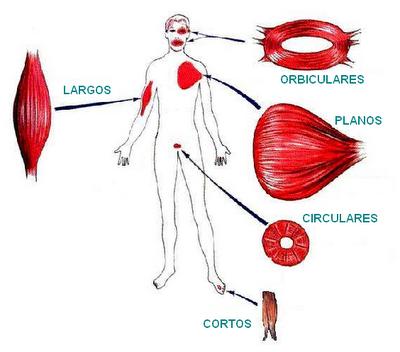 Clasificación de los músculos según su forma