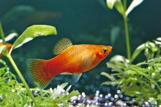 Ikan Hias Platty