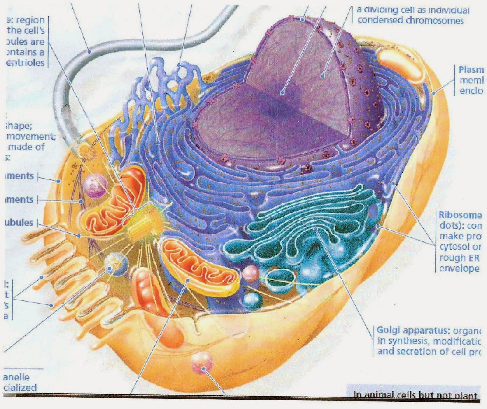 Gambar sel hewan unsur terkecil dalam susunan jaringan hewan adalah