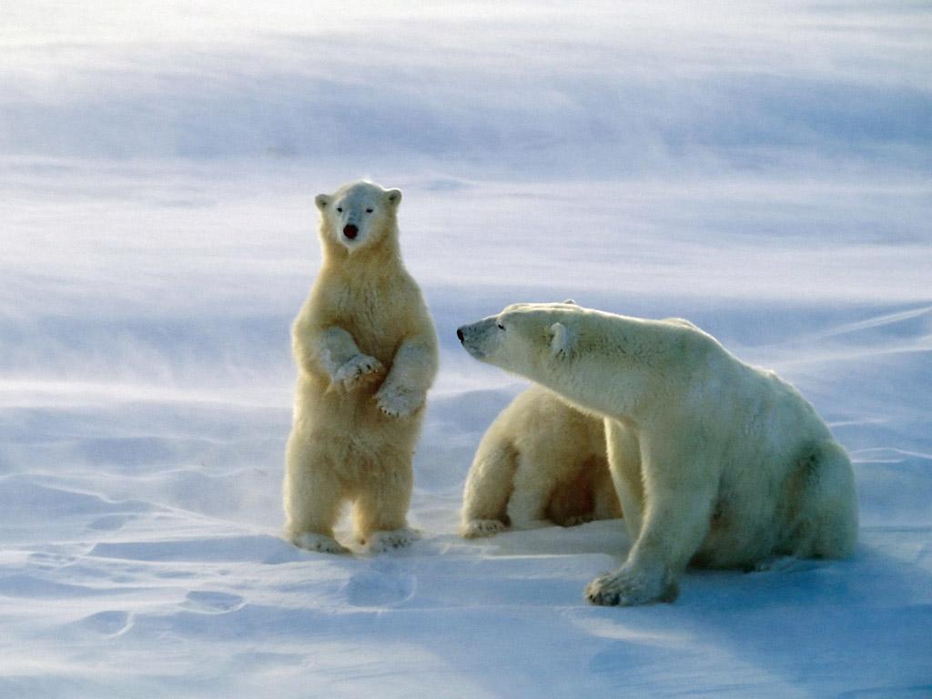 http://4.bp.blogspot.com/-sATW6w_yLSQ/T-XTJEeNHjI/AAAAAAAACsw/D86StgivYT8/s1600/Polar+Bear+picture.jpg