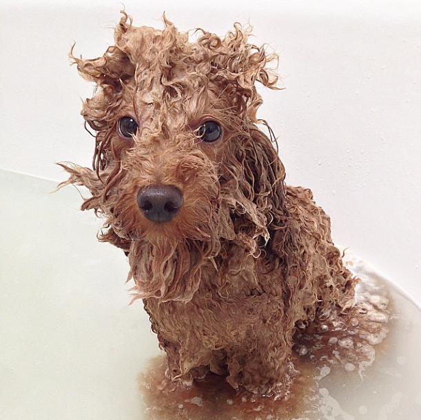funny wet poodle