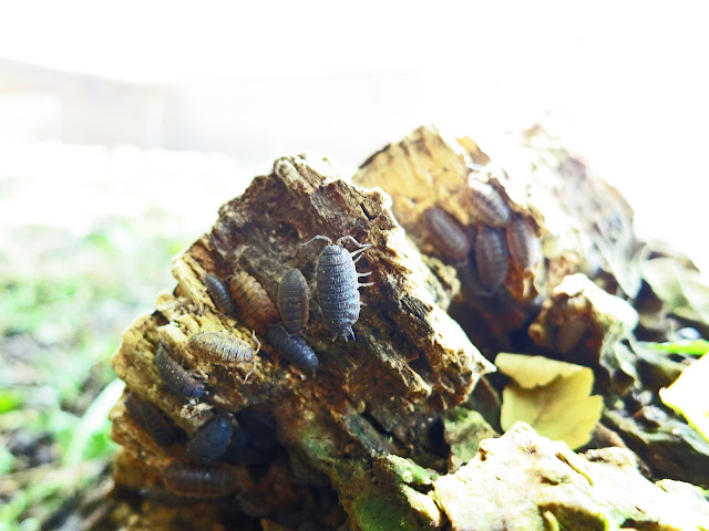 COMMON ROUGH WOODLICE - Porcellio scaber