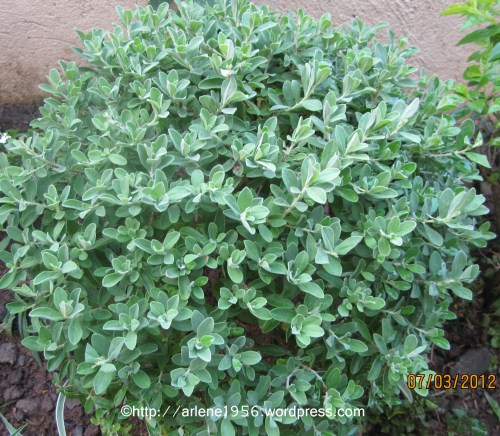 Ornamental Plants For Sale Green Dust For Sale