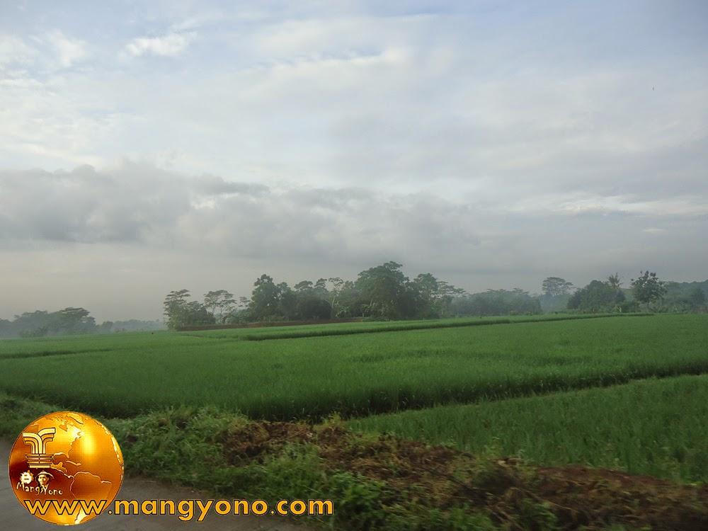 Tanaman padi sudah berumur 1 bulan. umur segini sudah tahan terhadap keong emas dan curah hujan.