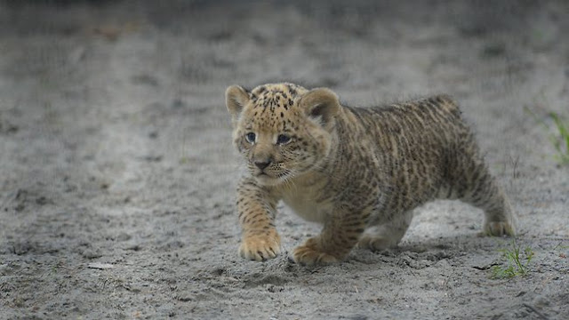 Three liliger cubs born to liger mom (Photos - Video)