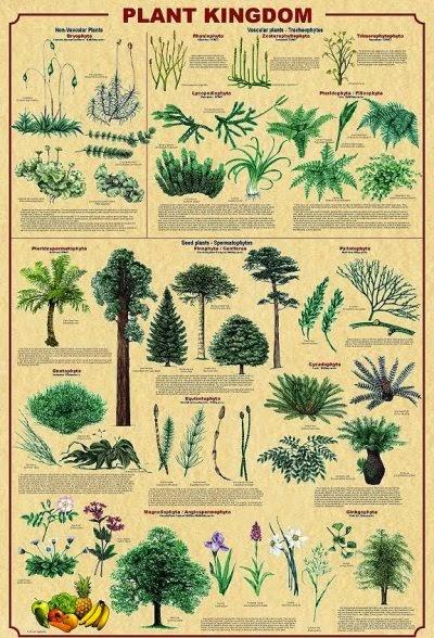 Kingdom Plantae (Tumbuhan)