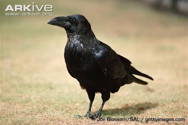 Burung+Gagak rappets.com