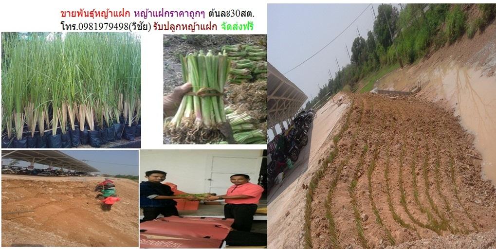 ขายหญ้าแแฝกราคาถูก หญ้าแฝกถุง รับปลูกหญ้าแฝกราคาถูก ต้นละ20สต.0981979498(วิชัย)