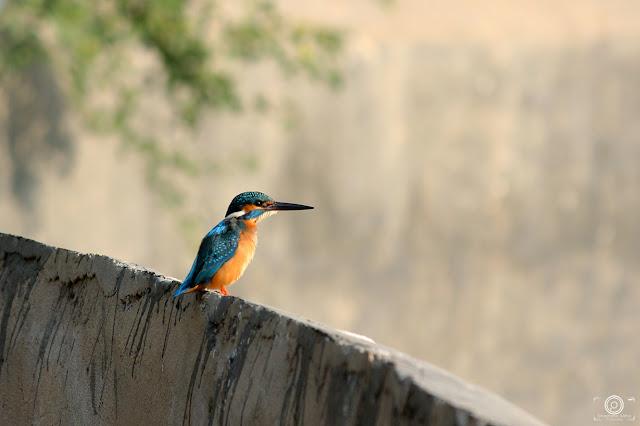 Common Kingfisher, Shashank Mittal Photography, Shashank, Shashank Mittal, Common Kingfisher Photography