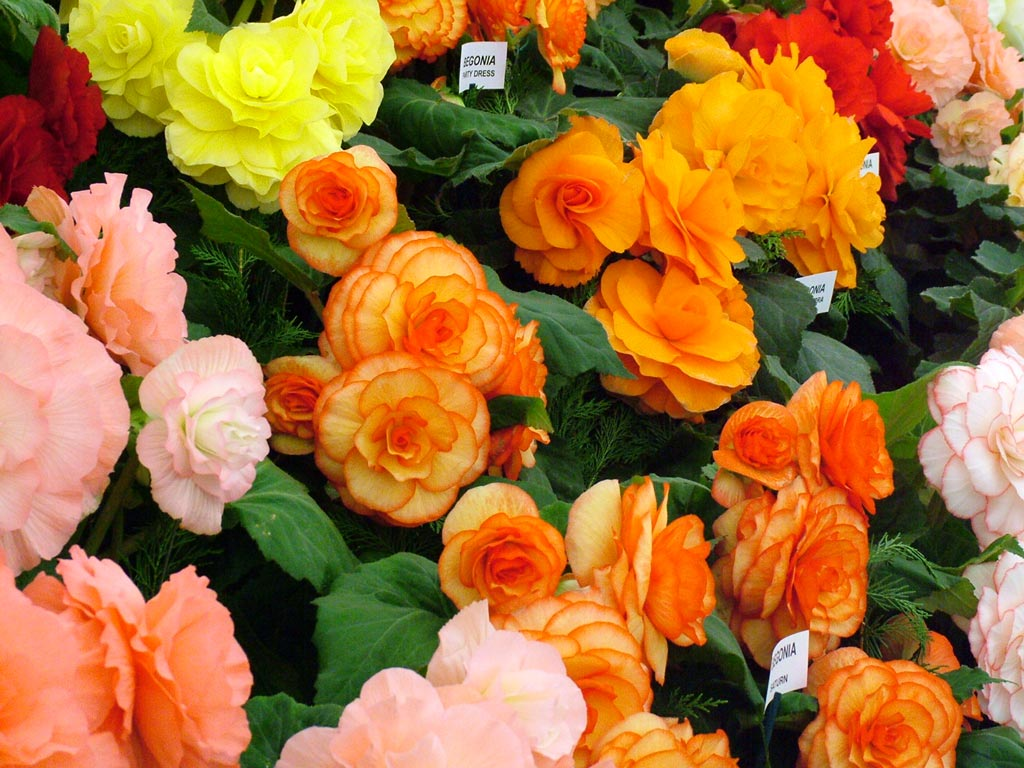 Amazing Begonia Flowers 1024 x 768 · 150 kB · jpeg