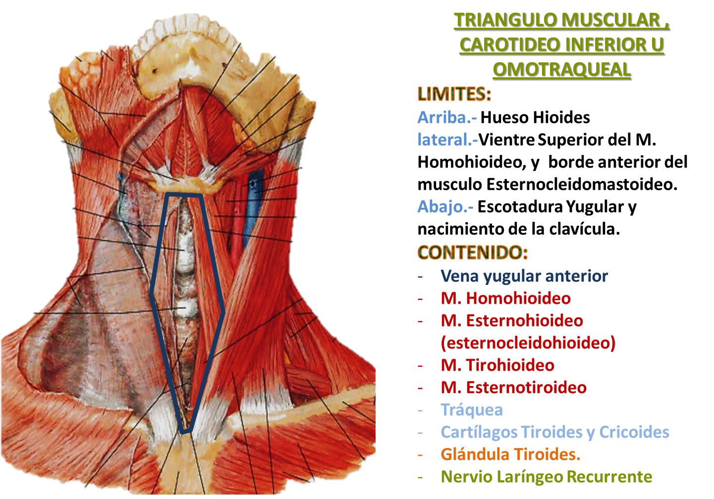triangulos del cuello | Triangulos del Cuello