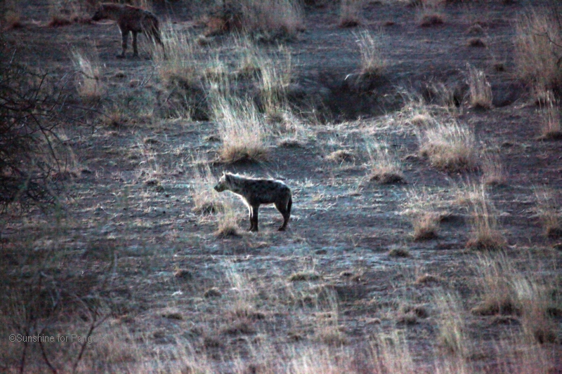Spotted hyena in the Awash National Park